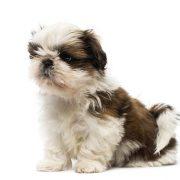 shih-tzu-puppy
