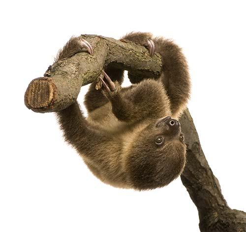 sloth-isolated
