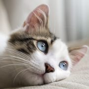 perineal urethrostomy for tom cats